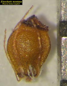 Eleocharis montana