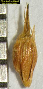 Eleocharis robbinsii