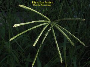Eleusine indica