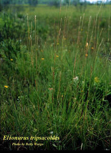 Elionurus tripsacoides