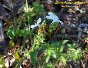 Elytraria caroliniensis