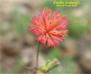 Emilia fosbergii
