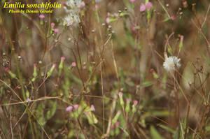 Emilia sonchifolia