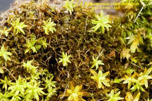 Ephemerum crassinervium