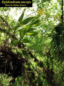 Epidendrum anceps