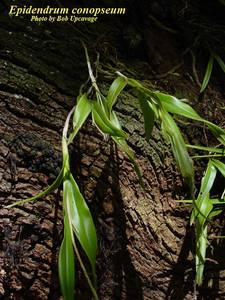 Epidendrum conopseum