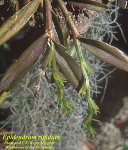 Epidendrum rigidum