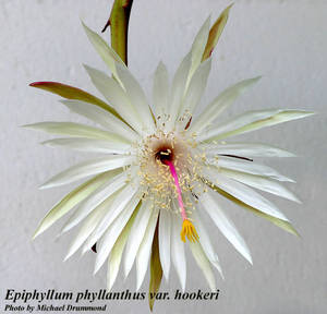 Epiphyllum phyllanthus var. hookeri