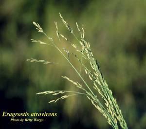 Eragrostis atrovirens