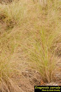 Eragrostis curvula