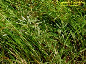 Eragrostis hypnoides