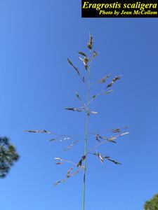 Eragrostis scaligera