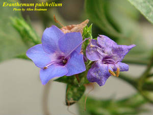 Eranthemum pulchellum