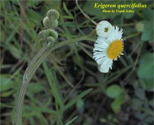 Erigeron quercifolius