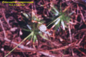 Eriocaulon compressum