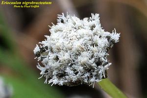 Eriocaulon nigrobracteatum