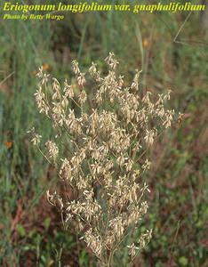 Eriogonum longifolium var. gnaphalifolium