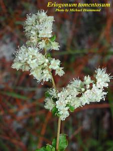 Eriogonum tomentosum