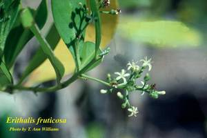 Erithalis fruticosa