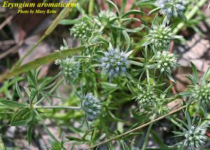 Eryngium aromaticum