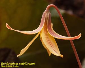 Erythronium umbilicatum