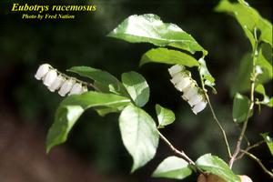 Eubotrys racemosus