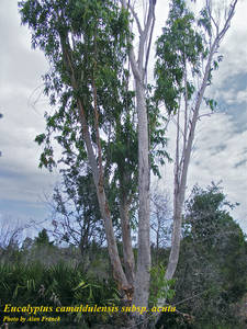 Eucalyptus camaldulensis subsp. acuta