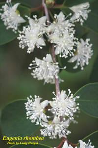 Eugenia rhombea