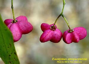 Euonymus atropurpureus