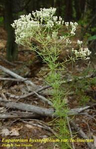 Eupatorium hyssopifolium var. laciniatum