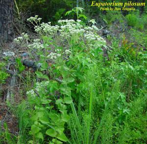 Eupatorium pilosum