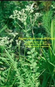 Eupatorium rotundifolium