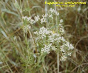 Eupatorium semiserratum
