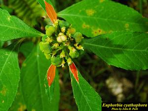 Euphorbia cyathophora