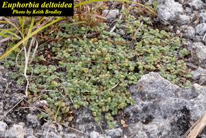 Euphorbia deltoidea