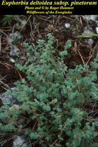 Euphorbia deltoidea subsp. pinetorum
