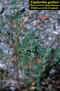 Euphorbia garberi