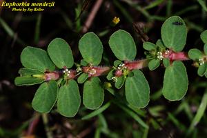 Euphorbia mendezii