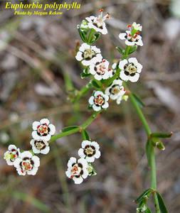 Euphorbia polyphylla