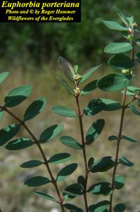 Euphorbia porteriana