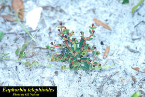 Euphorbia telephioides