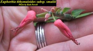 Euphorbia tithymaloides subsp. smallii
