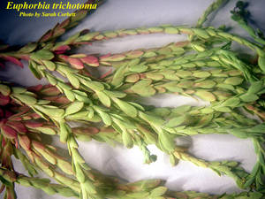 Euphorbia trichotoma
