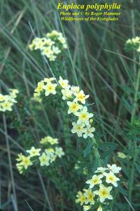 Euploca polyphylla