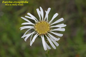 Eurybia eryngiifolia