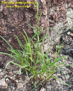 Eurybia hemispherica