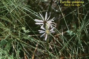 Eurybia spinulosa