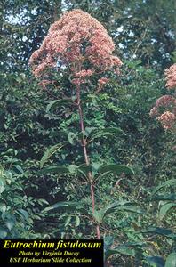 Eutrochium fistulosum