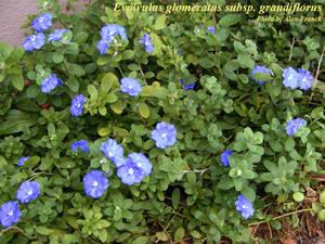 Evolvulus glomeratus subsp. grandiflorus