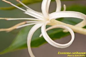 Exostema caribaeum